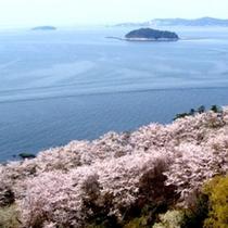 西浦園地の桜