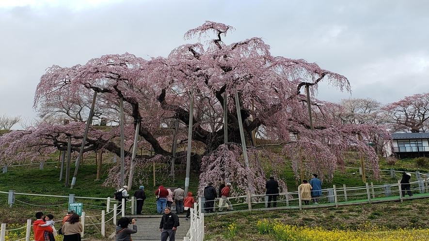 三春滝桜 日本三大桜の一つ 車で15分