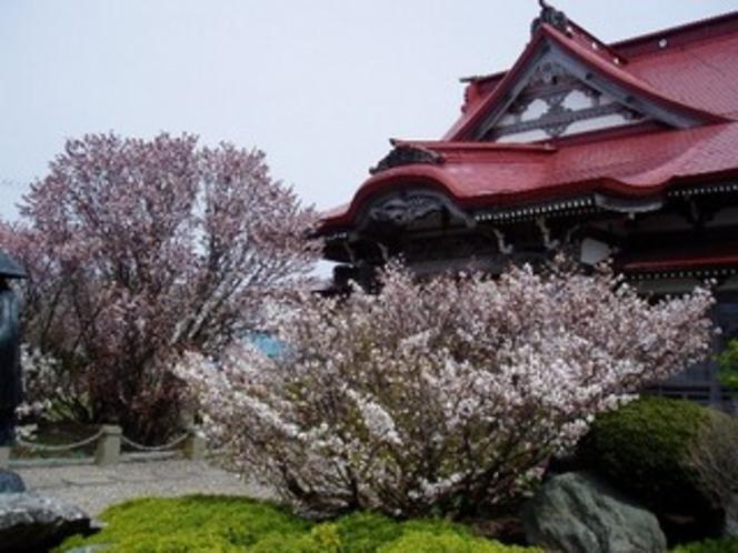 【周辺観光】 千島桜(清隆寺)