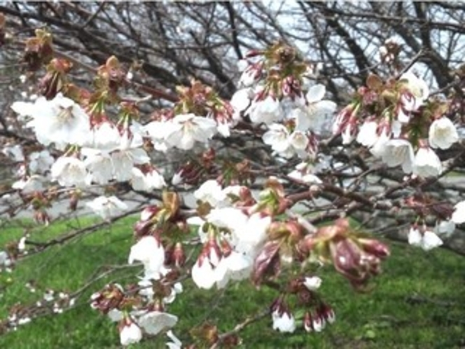 【周辺観光】 千島桜(春期)