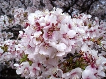 桜イメージ1