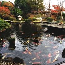 日本庭園と高級錦鯉が遊泳する池