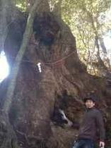 高原神社の奥の巨大楠木