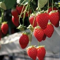 【いちご狩り】春の伊豆で甘ーいイチゴをたべよう♪