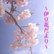 【伊豆の四季】桜を満喫!伊豆の桜は2月から見頃です。