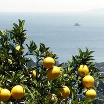 【伊豆の夏の味ニューサマーオレンジ】伊豆の夏の味です。