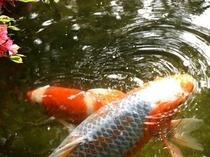 【庭園の風景】鯉アップ