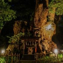 来宮神社大楠(夜)