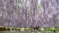 【自然・観光】 5月上旬 足利フラワーパーク 藤の花