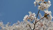 【自然】 4月上旬 黒磯公園桜