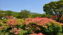 【自然】 5月中旬~下旬 八幡のツツジが咲き誇る