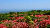 【自然】 5月中旬~下旬 八幡のツツジ(2)