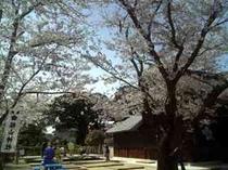 桜山神社の桜