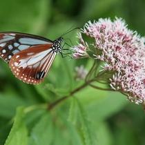 長時間飛行する渡り蝶 アサギマダラ 蝶好きにはたまらない!