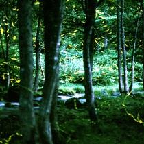 豊かな自然に囲まれた裏磐梯周辺ではホタルがご覧いただけます(6月下旬~8月上旬)