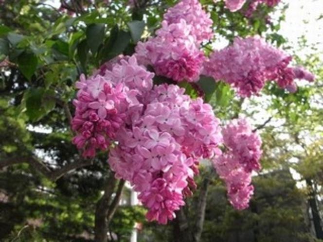 大通公園ライラックの花