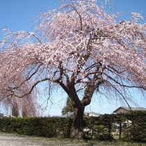 安養寺のしだれ桜