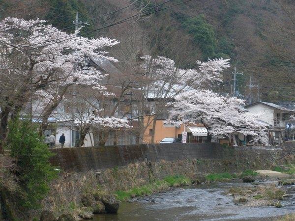 滝川沿いの桜並木