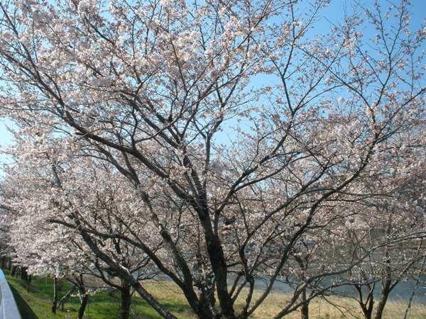 久慈川と桜