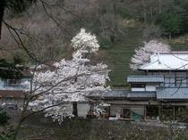 滝本地区の茶畑と桜
