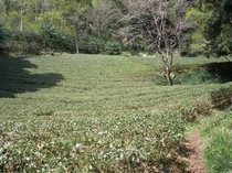 滝美館裏の茶畑