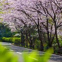 ≪春≫桜並木がゲストをお迎えします