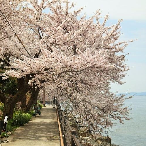 春は湖の沿いの桜が満開に