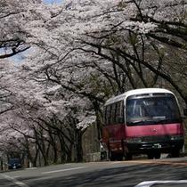 作並街道「桜のトンネル」