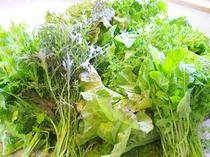 地元『サラダピクニック』の朝採り野菜約20種