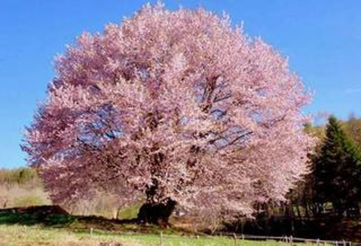 片品、天王桜