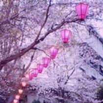 ぼんぼり提灯と桜