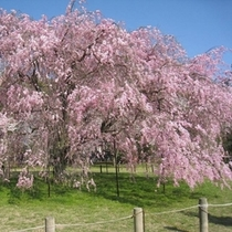 ◇上賀茂神社 桜風景