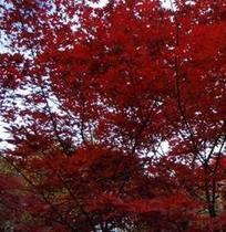 ◆紅葉もみじ