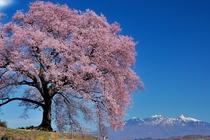 さくら(知覧の桜は知覧)