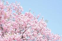 さくら(温泉桜)この桜はさくらです。