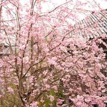 庭の中心にあるしだれ桜
