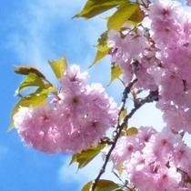 プラン用(八重桜)