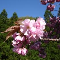 プラン用八重桜