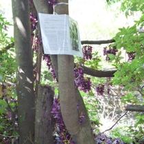【周辺観光】マメ科トビカズラ属に分類される常緑。※4月下旬から5月上旬開花。