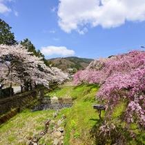 *【周辺】春の風物詩、鮮やかなピンク色が広がる宮城野の桜並木。
