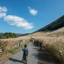 *【周辺】仙石原の秋の風物詩、黄金色に輝くすすき草原。