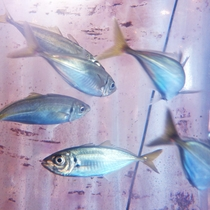 *【館内施設/いけす】船保組合のお宿ですので新鮮なお魚を御提供いたしております。