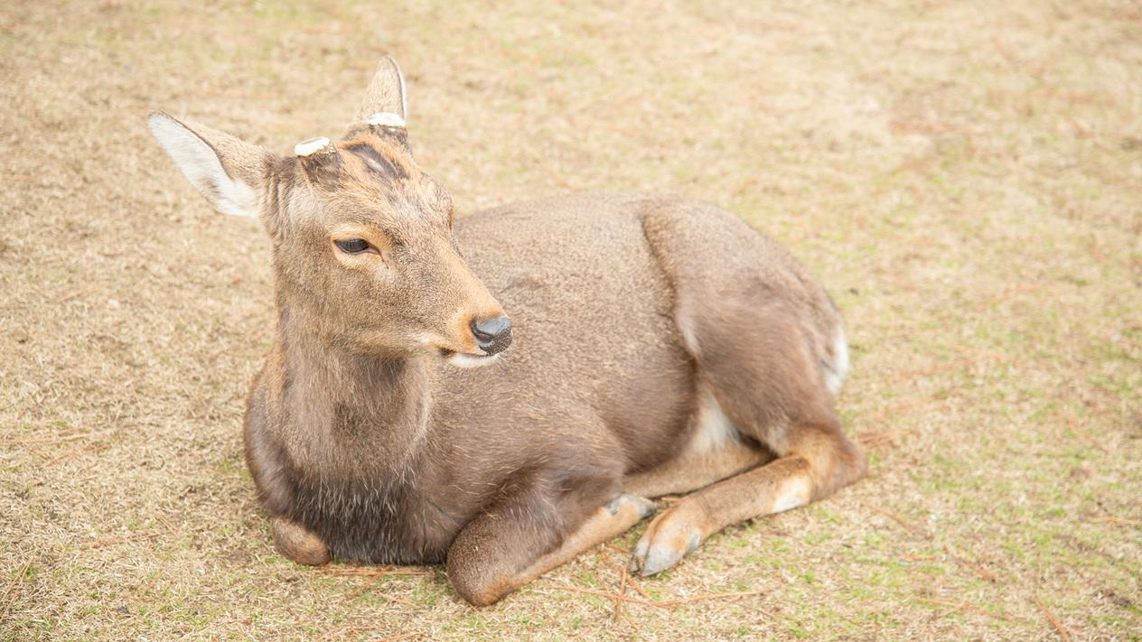 *【奈良公園の鹿】歩いたり寝たり、自由に過ごす鹿たち