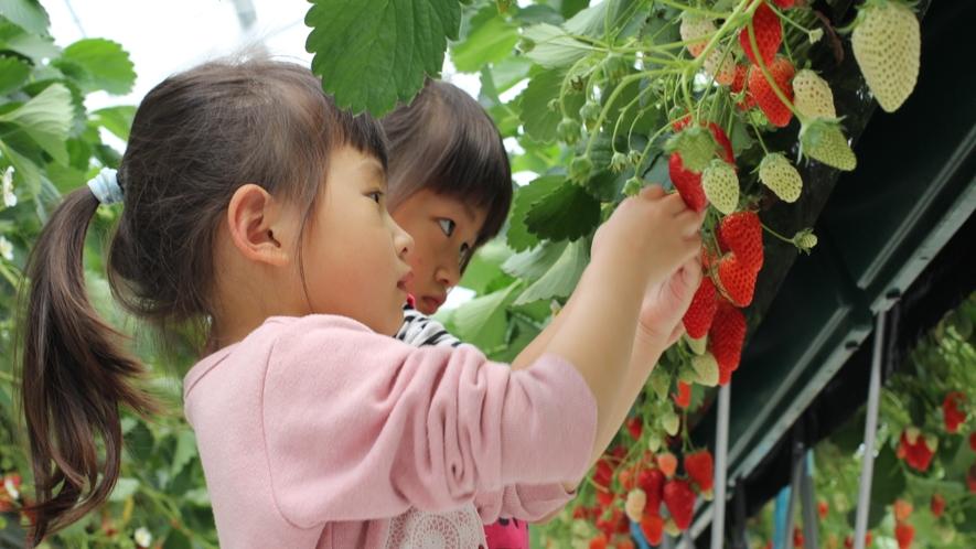 【いちご狩り】大切に育てられたおっきなイチゴを食べ放題♪(ロイヤルストロベリーパーク体験イメージ)★