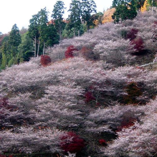 四季桜 豊田市小原地区