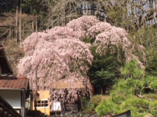 天河神社の枝垂桜