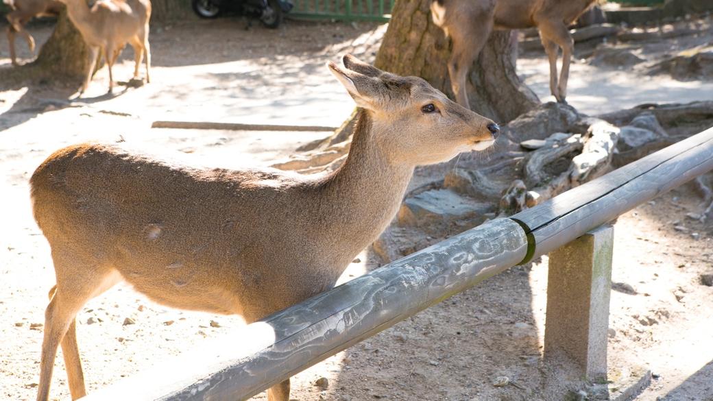 国の天然記念物に指定されている奈良公園の鹿さん☆