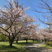 【春】奈良公園の桜