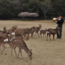 【鹿寄せ】ナチュラルホルンの音色で鹿を呼び寄せる、奈良の風物詩です。