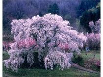 大宇陀の「又兵衛桜」